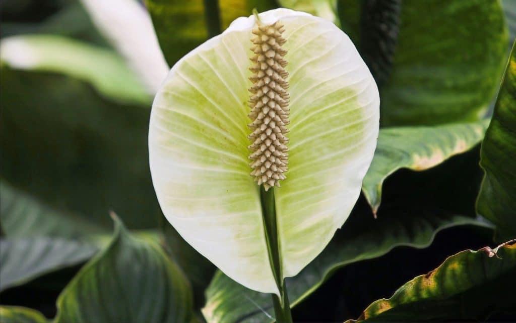 Spathiphyllum plante d'intérieur