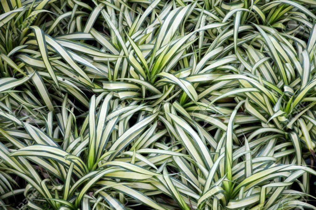 Plante d'intérieur chlorophytum