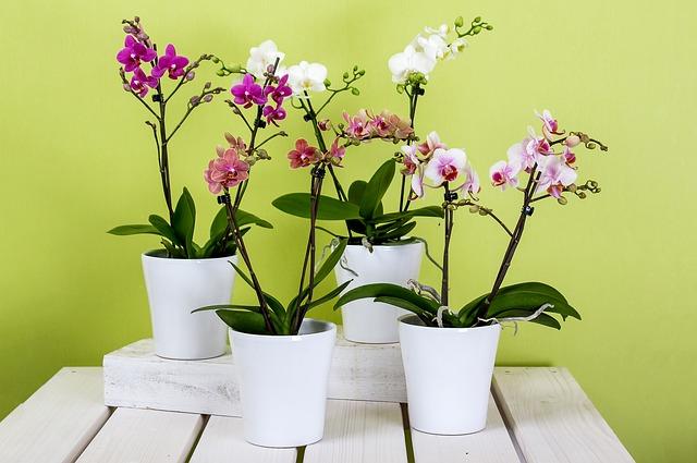 Plante intérieur orchidée